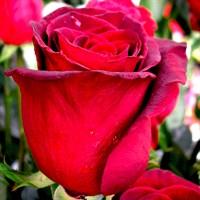 Роза Гранд Гала-темно-бордовый