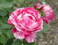 Роза Анри Матисс-двухцветный
