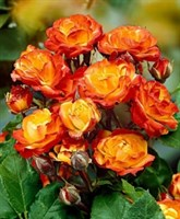 Роза Генриетта-двухцветный