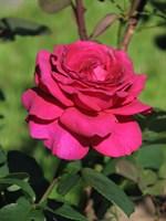 Роза Херальд-фиолетовый