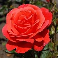 Роза Холстейнперле-оранжевый