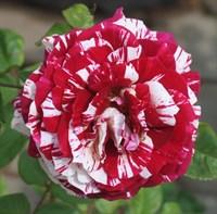 Роза Хулио Иглесиас-двухцветный