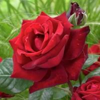 Роза Ингрид Бергман-красный
