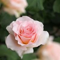Роза Иоганн Штраус-розовый