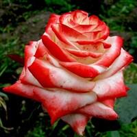 Роза Кайзер Фарах-двухцветный