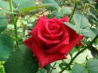 Роза Кардинал-красный