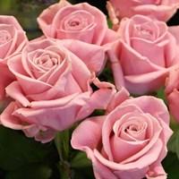 Роза Карла Кеано-розовый