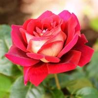 Роза Кроненбург-красный
