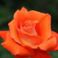 Роза Лаура-оранжевый