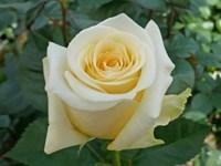 Роза Лион-желтый