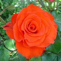 Роза Лав Стори-оранжевый