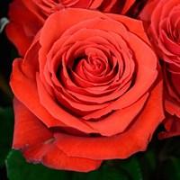 Роза Медальон-оранжевый
