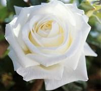 Роза Метрополитен-белый
