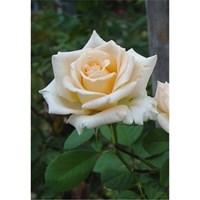 Роза Монсун-кремовый