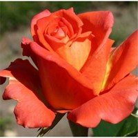 Роза Минкс-оранжевый