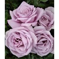 Роза Мунлайт-сиреневый