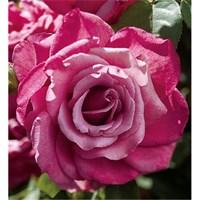 Роза Капитоль-розовый