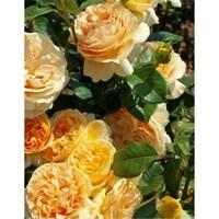 Роза Люмен-желтый