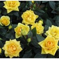 Роза Николя Улот-желтый