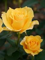 Роза флорибунда Оллголд-желтый