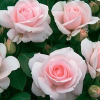 Роза флорибунда Аспирин -розовый