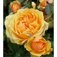 Роза флорибунда Балерина-желтый