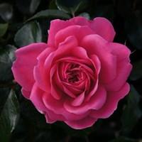 Роза флорибунда Барлебург-розовый