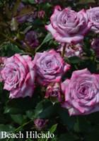 Роза флорибунда Барлебург-сиреневый