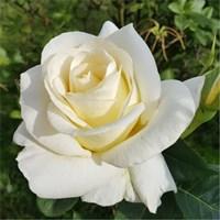 Роза флорибунда Бьянка-белый