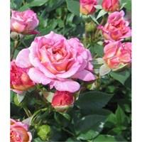Роза флорибунда Байдди-розовый
