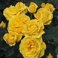 Роза флорибунда Карт Д'Ор-желтый