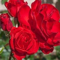 Роза флорибунда Корус-красный