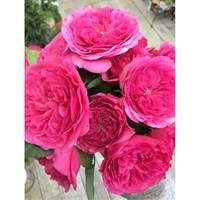 Роза флорибунда Клайв-фуксия