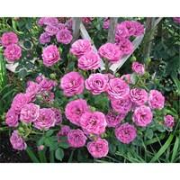 Роза флорибунда Дамсон-розовый