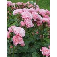 Роза флорибунда Дэнс-розовый