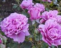 Роза флорибунда Дойче Велле-сиреневый