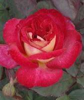 Роза флорибунда Даск-красный