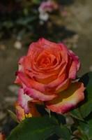 Роза флорибунда Эрз-оранжевый