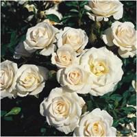 Роза флорибунда Эдельвейс-белый