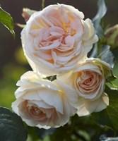 Роза флорибунда Импресс-кремовый
