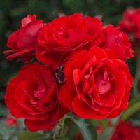 Роза флорибунда Эвелин Висонт-красный