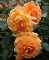 Роза флорибунда Филджри-желтый