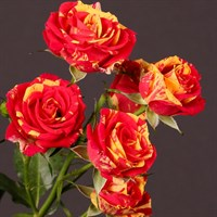 Роза флорибунда Файнер Флеш-двухцветный