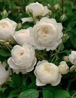 Роза флорибунда Флорентин-белый