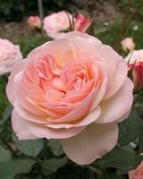 Роза флорибунда Фондант-розовый