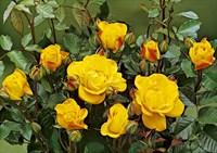 Роза флорибунда Голдмари-желтый