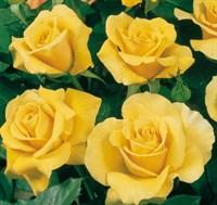 Роза флорибунда Голдстар-желтый