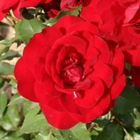 Роза флорибунда Хейнзелманхен-красный