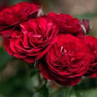 Роза флорибунда Лаваглут-красный