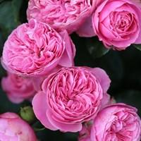 Роза флорибунда Леонардо да Винчи-розовый